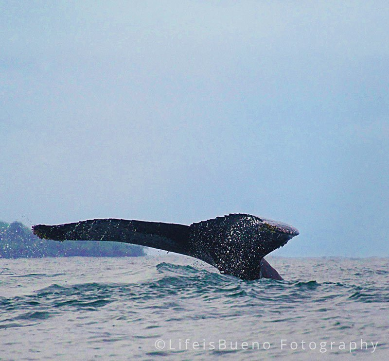 costa-rica-humpback-whale-tail
