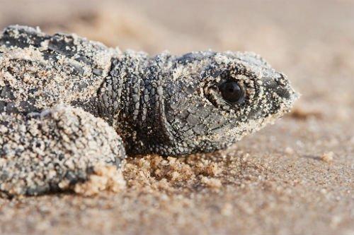 kempridley_sea_turtles
