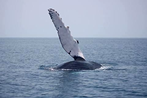The Humpback Whales Are Coming to Blue Osa - osa