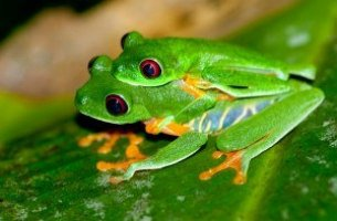 Most Beautiful Jungle Paradise Frogs In Costa Rica