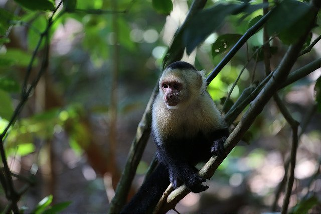 White-Faced Capuchin Monkey You Can Expect to See on Your Trip to Blue Osa