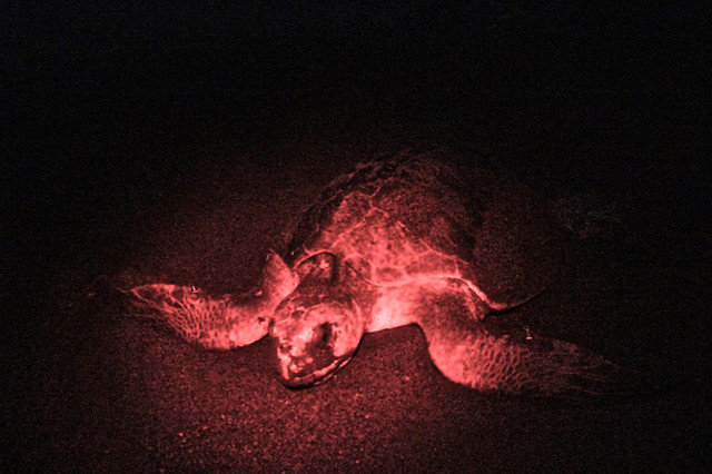 Mother Sea Turtle