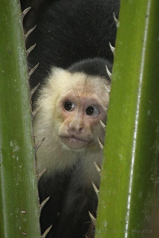 Osa Peninsula - Monkeys