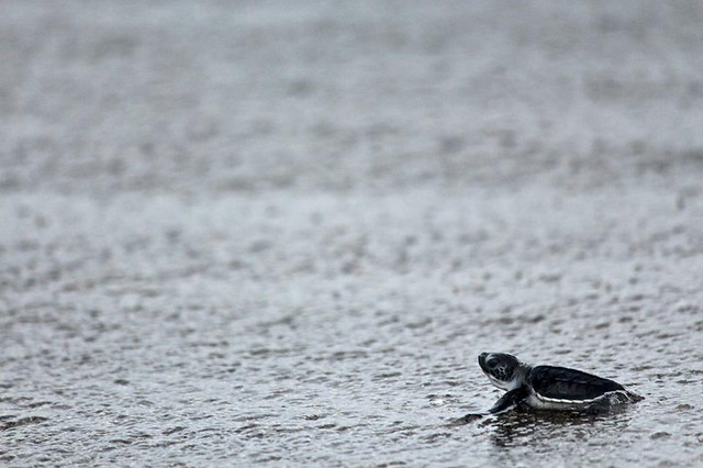 Hatchling baby sea turtle