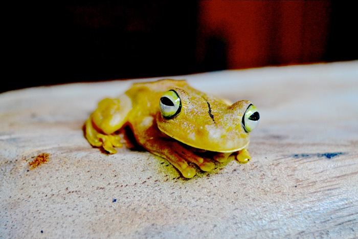 25 Fantastic Reasons To Pack Your Bags And Visit Blue Osa Right Now Gladiator frog