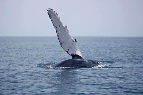 The Humpback Whales Are Coming to Blue Osa Costa Rica