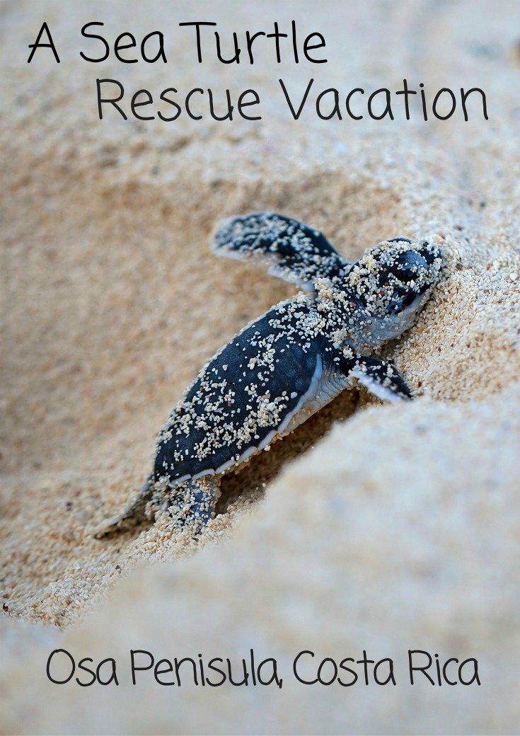 A Sea Turtle Rescue Vacation In The Osa Penisula, Costa Rica