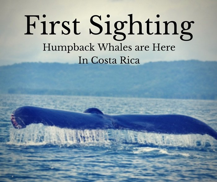 First Sighting: Humpback Whales are Here In Costa Rica