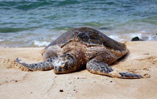Green-sea-turtles