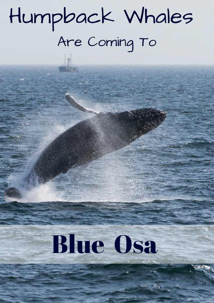 Humpback Whales Are Coming To Blue Osa