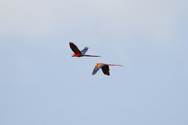 Scarlet Macaw You Can Expect to See on Your Trip to Blue Osa