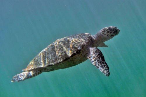 hawksbill_sea_turtles