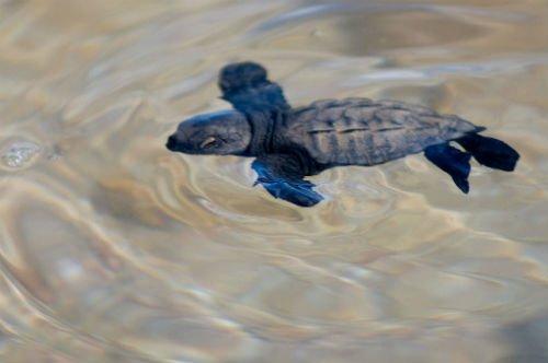 olive-ridley_sea_turtles