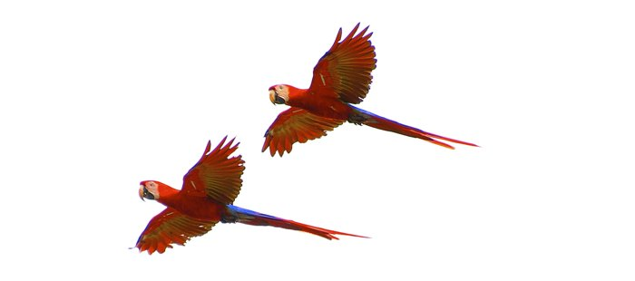 scarlet macaws Costa Rica blue osa