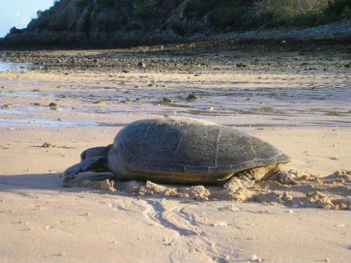 sea-turtles-flatback